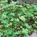 四葉のオキザリス (1)
