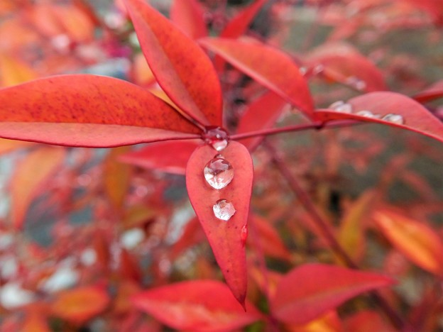 南天の葉の露