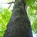 Photos: 緑の木々とセミの声