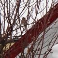 写真: モクレンの木で羽を休める野鳥!