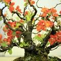 写真: ボケの花・盆栽仕立て