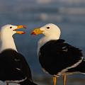 Photos: Pacific Gull