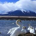 富士と白鳥