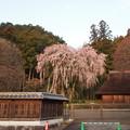 写真: 高麗神社しだれ桜 333