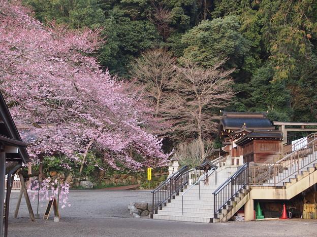 高麗神社しだれ桜 328