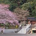 写真: 高麗神社しだれ桜 328
