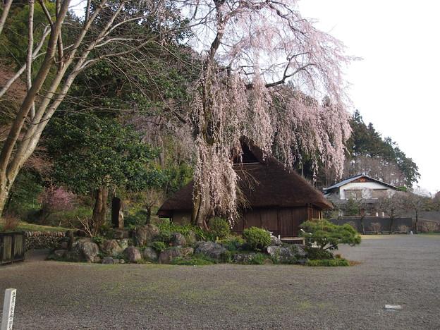 高麗神社しだれ桜 324