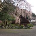 写真: 高麗神社しだれ桜 324