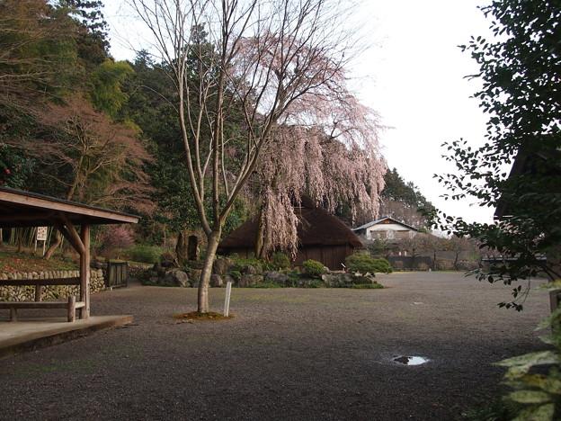 高麗神社しだれ桜 321