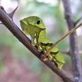 写真: アゲハの幼虫