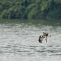 写真: ミサゴ捕食1