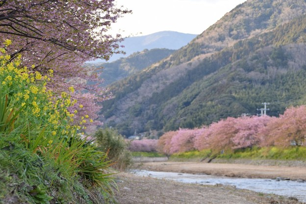 写真: ひと足早い桜並木