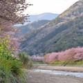 Photos: ひと足早い桜並木