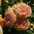 Photos: アルキミスト 'Alchemist' Kordes (独 1956) LCl Golden Glow × hybrid of Rosa eglanteria L. synonym (8)