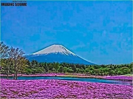 富士芝桜(HDRアートクラフト・強)