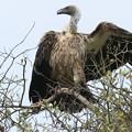アフリカの動物ポートレイトシリーズ36