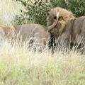 写真: アフリカの動物Loveryシリーズ8