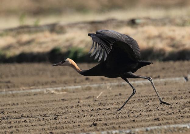 ナベヅル幼鳥-3