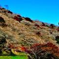 川見の四季桜