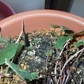 ギフチョウ幼虫(5月 30日) (3)
