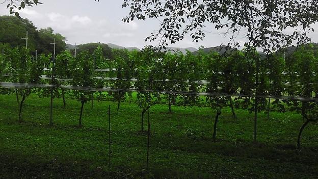 葡萄畑一帯 (1)