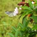 花と蝶(カルミア)