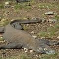 寝てばかり Sleeping Komodo dragon