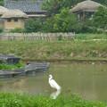 世界遺産良洞村の白鷺 Picturesque egret in water lily pond