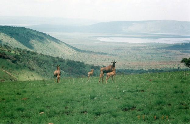 トピの群れ、ルワンダ Topis,Rwanda