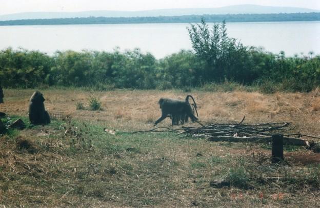 湖岸のヒヒの群、ルワンダ Lakeside baboons,Rwanda