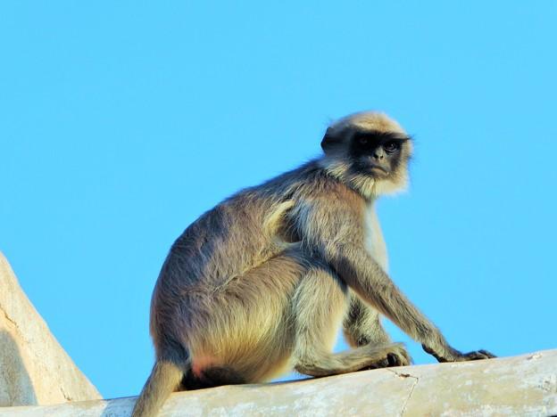 写真: 聖なる猿を仰ぐ Hanuman langur              4/6から月末まで中国方面旅行のため不在です
