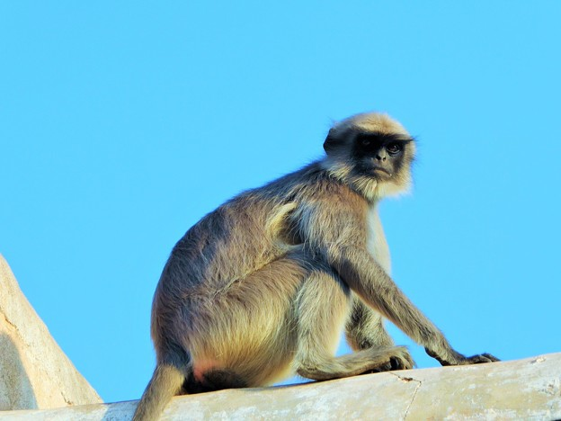 聖なる猿を仰ぐ Hanuman langur              4/6から月末まで中国方面旅行のため不在です