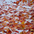 雪の北大紅葉2s
