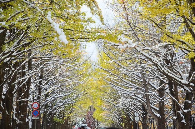 雪の北大イチョウ並木2s
