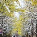 Photos: 雪の北大イチョウ並木2s