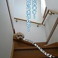 写真: 階段が降りれないくーかい 1