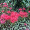 写真: ヒガンバナ
