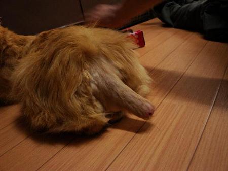 チャムの尻尾の状態