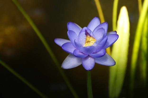 写真: ニンファエアカルペンタリアの花