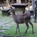 写真: 鹿