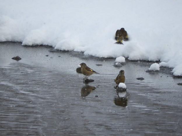 Photos: 雪と戯れるカワヒラ君
