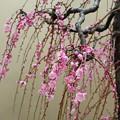 写真: 春時雨