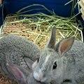 写真: ミニウサギ。 スタンダード...