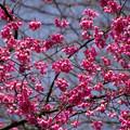 ヒマラヤヒザクラ(喜馬拉緋桜) 25032017