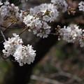 ソメイヨシノ(染井吉野) 25032017