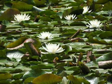 京成バラ園 睡蓮の池03