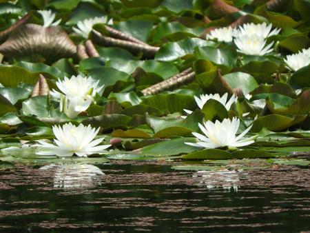 京成バラ園 睡蓮の池04