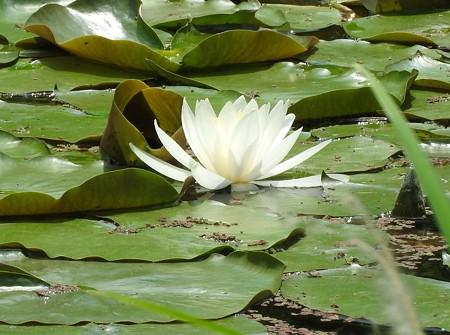 京成バラ園 睡蓮の池07