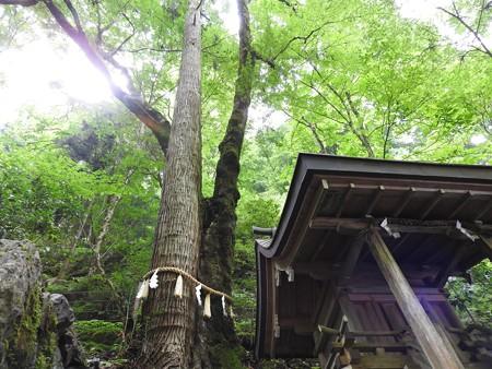 貴船神社 奥宮08 連理の杉(椙と槭)