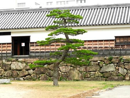 広島城12 姿よき松